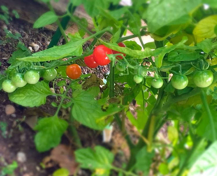 How to grow cherry tomato at home